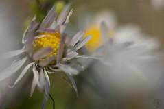 Bi culur (Fabrizio Comizzoli) Tags: campo fiori petali margherita