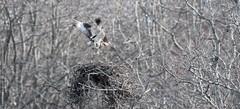 Nesting Osprey (Orionid) Tags: bird birds barn island nikon snowy connecticut wildlife ct 300mm glossy ibis management shore area 28 nikkor egret f28 plover osprey wma egrets shorebird plovers ibises