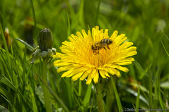 Pollination of flowers (OlekGraf) Tags: flowers green nature yellow spring nikon meadow poland bee manfrotto pollination olek kielce malogoszcz d3200 nikonflickraward olekgraf