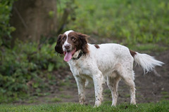 Ruby (owenbarnfield) Tags: uk trees dog white green animal tongue nikon flickr photographer photoshoot background tail daily telephoto spaniel d800 featured 70200vr mansbestrfriend