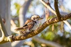 Afternoon quick dip (jan_clewett) Tags: canon australia kookaburra 80d