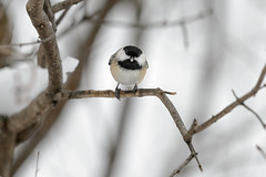 Chickadee Says What-46001.jpg (Mully410 * Images) Tags: bird smile birds tongue mouth backyard birding chickadee birdwatching blackcappedchickadee birder