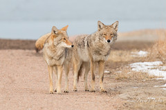 Coyote pair. Cherry Creek State Park, Colorado.