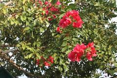 IMG_1288.CR2 (dernst) Tags: trinitarias bougainvilleas
