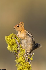 golden mantled ground squirrel fort rock oregon (lee barlow) Tags: oregon nikon fortrock goldenmantledgroundsquirrel leebarlow