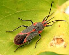 Oleander Bug (treegrow) Tags: nature insect spain arthropoda hemiptera heteroptera lifeonearth raynoxdcr250 lygaeidae caenocorisnerii canonspeedlite430exii taxonomy:binomial=caenocorisnerii canonpowershotsx40hs