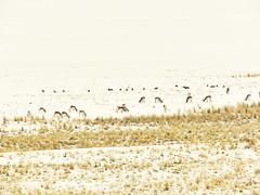 1 Reason for Antelope Island (Mertonian) Tags: winter nature beauty field grass season wonder island for utah wildlife salt greatsaltlake reason antelope wilderness herd ineffable mertonian robertcowlishaw 1reasonforantelopeisland