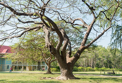 Cha-am,Phetburi-Jan21,2016:Big tree at Maruekhathaiyawan Palace, Huahin Chaam, Phetchaburi,Thailand on 21 January 2016 (leykladay) Tags: ocean old travel pink blue sea summer sky white house holiday building tree green beach home water yellow architecture thailand hotel wooden italian sand asia king royal style palace arbor thai colored verdant column sight residence bang huahin rama stilts ercole skyblue chaam manfredi phetchaburi mrigadayavan vajiravudh marukhathaiyawan
