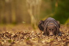 Keira {Explored} (Phil L Wright) Tags: zeiss puppy dof pointer bokeh sony shallow 18 gsp 135mm gundog germanshorthairedpointer sonnar a7rii