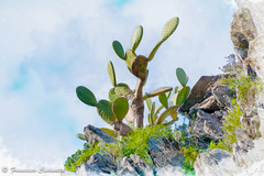 Fichi d'India (Francesco Cucinotta) Tags: italien italy watercolor italia aquarelle it watercolour acuarela calabria italie fichidindia aquarel waterpainting aquarell aguarela acquarello kalabrien palmi ulivarella scogliodellulivo