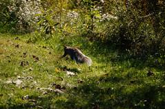 DSC02465.jpg (joe.spandrusyszyn) Tags: nature animal mammal rodent squirrel unitedstatesofamerica rochester newyorkstate rodentia henrietta vertebrate sciuridae sciuruscarolinensis easterngraysquirrel treesquirrel sciurus tinkernaturepark byjoespandrusyszyn