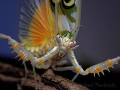 Pseudocreobotra wahlbergii, adult female (_papilio) Tags: macro mantis sony invertebrate canonmpe65mm papilio mantid arthropod a7ii pseudocreobotrawahlbergii zeissmakroplanart100mmf2