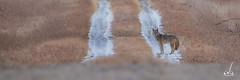 Coyote (anoopbrar) Tags: coyote winter wild dog canada calgary nature water animal mammal outdoor wildlife running fields farms wilderness prairies waterdroplets wilddog coyotes wildlifephotography