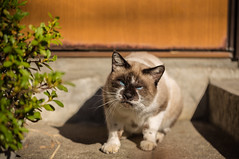 Japanese Grumpy Cat (Infinite_Divide) Tags: animal japan cat canon outdoors anger 100mm porch angry neko stoop grumpy f28 6d 2015 100l infinitedivide jamespatrus