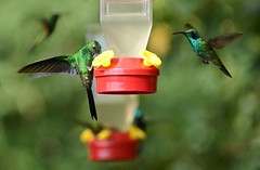 Hummingbird Garden (Kim's Pics :)) Tags: light colors beautiful sunshine birds animals flying wings costarica colorful feeding bokeh group monteverde iridescent hummingbirds feeders fluttering curicanchareserve