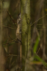 Southern Flying Squirrel - Glaucomys volans (StoufferLSU) Tags: mammals rodentia sciuridae southernflyingsquirrel glaucomysvolans forestcommunitypark