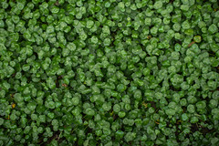 Whorled Umbrella Plant (nikfwow) Tags: plant green umbelliferae hydrocotyle hydrocotyleverticillatathunb whorledumbrellaplant