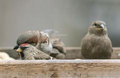 Common Redpoll (Acanthis flammea) (mesquakie8) Tags: bird illinois adult finch core rockford commonredpoll 0200 winnebagocounty acanthisflammea feedingattheplatformfeeder