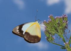 Common Albatross (Jenny Thynne) Tags: female butterfly insect australia brisbane lepidoptera queensland pieridae pierinae commonalbatross yellowalbatross appiaspaulina