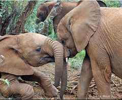 Ivory orphans at play (JuttaMK) Tags: david kenya wildlife nairobi nursery trust 2016 sheldrick flickrdiamond mauekay ivoryorphans