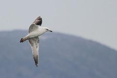 Goland pontique (3ac) Larus cachinnans (laridoprout) Tags: gull laruscachinnans lacdeneuchtel golandpontique larid larids steppenmwe laridoprout steppengull pontiqueenvol
