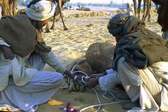 Pushkar fair 1996 - Rajasthan (wietsej) Tags: minolta 1996 9 fair camel dynax pushkar rajasthan maxxum xi