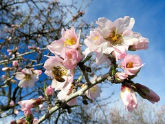 February Bloom (Black Cat Bazaar) Tags: california ca morning trees tree bees blossoms almond orchard bee busy bloom chico february northern nord pollination