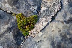 Mossy Heart (Pittypomm) Tags: macro stone wall hearts moss heart macromondays