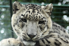 Snow Leopard - Mizi & Ranschan 05 (Artemis1947) Tags: bigcats snowleopard infocus forprinting highquality whf wildlifeheritagefoundation692011 whfheadcornkent snowleopardmiziranscan