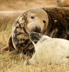 3B4A2309 (Janet-Hedger) Tags: seals donnanook janethedger