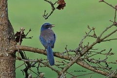 Nope, not a good place to hide the nut (lamoustique) Tags: vancouver washington scrubjay westernscrubjay aphelocomacalifornica geaibuissonnier lakevancouver