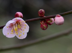 image (yhshangkuan) Tags: japan blossoms plum osaka plumblossoms 2016