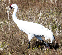Whooping Crane (ChefeGrande) Tags: bird texas feeding marsh seashore texasstatepark whoopingcrane wintermigration protectedspecie