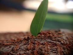 Trabalho de formiguinha… (Márcio Vinícius Pinheiro) Tags: wood macro tree nature work insect leaf ant natureza inseto folha supermacro árvore madeira trabalho formiga