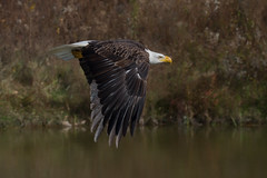 American bald eagle (Phiddy1) Tags: ontario canada birds eagle baldeagle crc