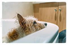 Bath time Fun......... not.... (christilou1) Tags: 2 dog wet water zeiss 35mm jack bath russell time sony shampoo terrier bathing splash washing crossbreed rx1
