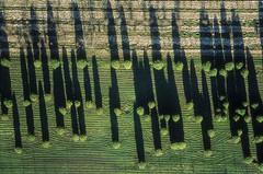 Pointed Caps (Aerial Photography) Tags: shadow by landscape bayern outdoor landwirtschaft aerial m rows agriculture landschaft schatten deu abstrakt luftbild leaftree luftaufnahme laufzorn obb lineoftrees deutschlandgermany reihen laubbaum deciduoustree baumreihe baumschule oberhaching rowoftrees foliagetree fotoklausleidorfwwwleidorfde oberhachinglkrmnchen 02031997 050003719