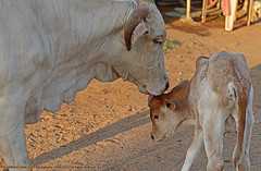 """""""MOTHER'S BLESSINGS"""" (GOPAN G. NAIR [ GOPS Photography ]) Tags: love photography cow affection mother compassion blessing motherhood calf gops gopan gopsorg gopangnair gopsphotography"""