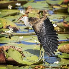 do the jacana stretch (Fat Burns ☮) Tags: bird fauna waterbird bribieisland jacana australianbird australianfauna combcrestedjacana irediparragallinacea buckleyshole nikond750 sigma150600mmf563dgoshsmsports sigmateleconvtc1401nik combcreastedjacana