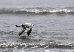 Skimming (adrian.sadlier) Tags: food bird waves seagull gull crab shore hunt skimming