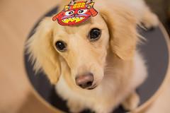 IMG_4202 (yukichinoko) Tags: dog dachshund 犬 kinako 節分 ダックスフント ダックスフンド きなこ