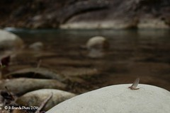 Baetis rhodani inserita nel suo contesto ambientale. (Roberto PE) Tags: ephemeroptera baetis rhodani