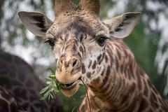 You Cought Me With My Mouth Full (helenehoffman) Tags: tanzania kenya giraffe sire giraffacamelopardalistippelskirchi masaigiraffe specanimal kilimanjarogiraffe conservationstatusthreatened