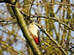 Woodpecker (Dimormar!) Tags: bird garden woodpecker tuin specht vogel grotebontespecht kersenboom