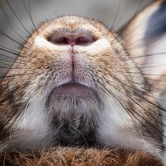 Extreme Close Up (Jeric Santiago) Tags: pet rabbit bunny animal closeup mouth nose conejo lapin hase kaninchen   winterrabbit