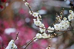 雪持ちの梅 (nobuflickr) Tags: flower nature japan kyoto 日本 花 japaneseapricot ウメ prunusmume thekyotobotanicalgarden 京都府立植物園 バラ科サクラ属 20160301dsc02589
