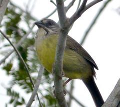 Torreornis inexpectata. Zapata Sparrow (gailhampshire) Tags: sparrow zapata inexpectata taxonomy:binomial=torreornisinexpectata torreornis