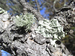 Flavopunctelia soredica and Usnea hirta (tigerbeatlefreak) Tags: nebraska fungus lichen hirta usnea flavopunctelia soredica