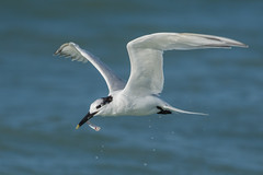 Sandwich Tern (PeterBrannon) Tags: ocean fish bird nature feeding florida wildlife tern sandwichtern catchingfish florda thalasseussandvicensis sarasotacounty