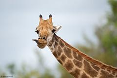 giraffa-dic.2015_9876 (Marco Pozzi photographer (750k+ views, thanks)) Tags: africa southafrica giraffe krugernationalpark giraffa kruger pozzi sudafrica specanimal marcopozzi marcopozziphotographer
